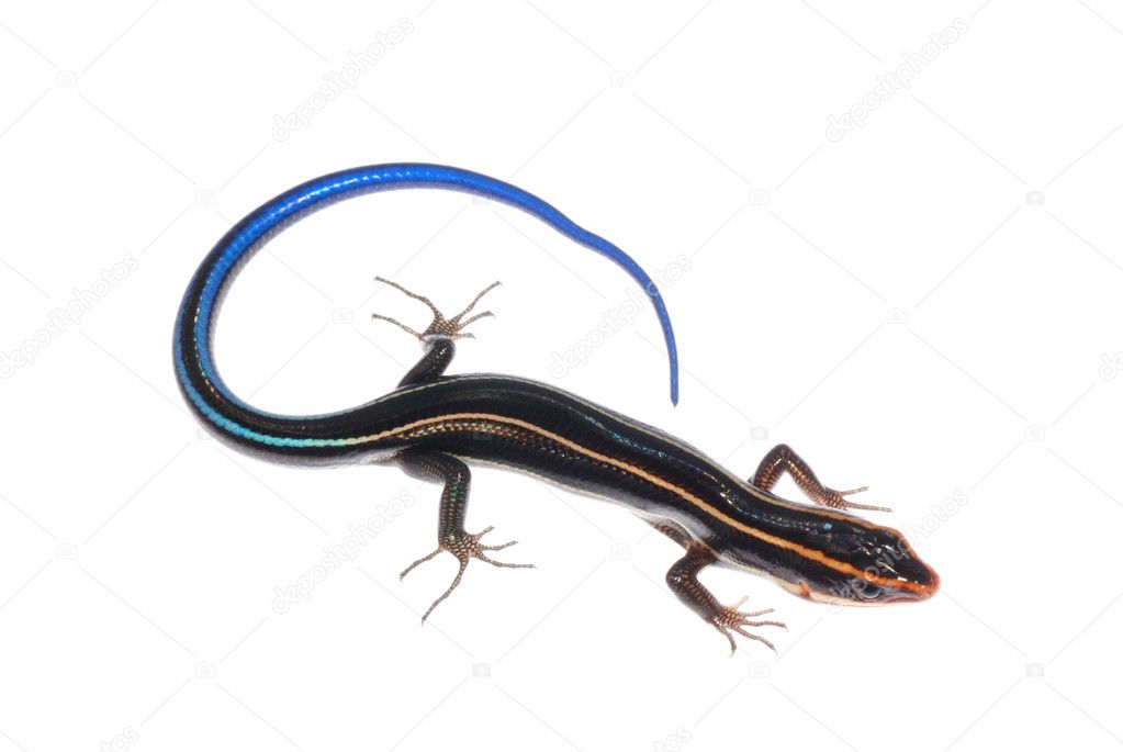 Skink lizard isolated on white background — Stock Photo #6930277