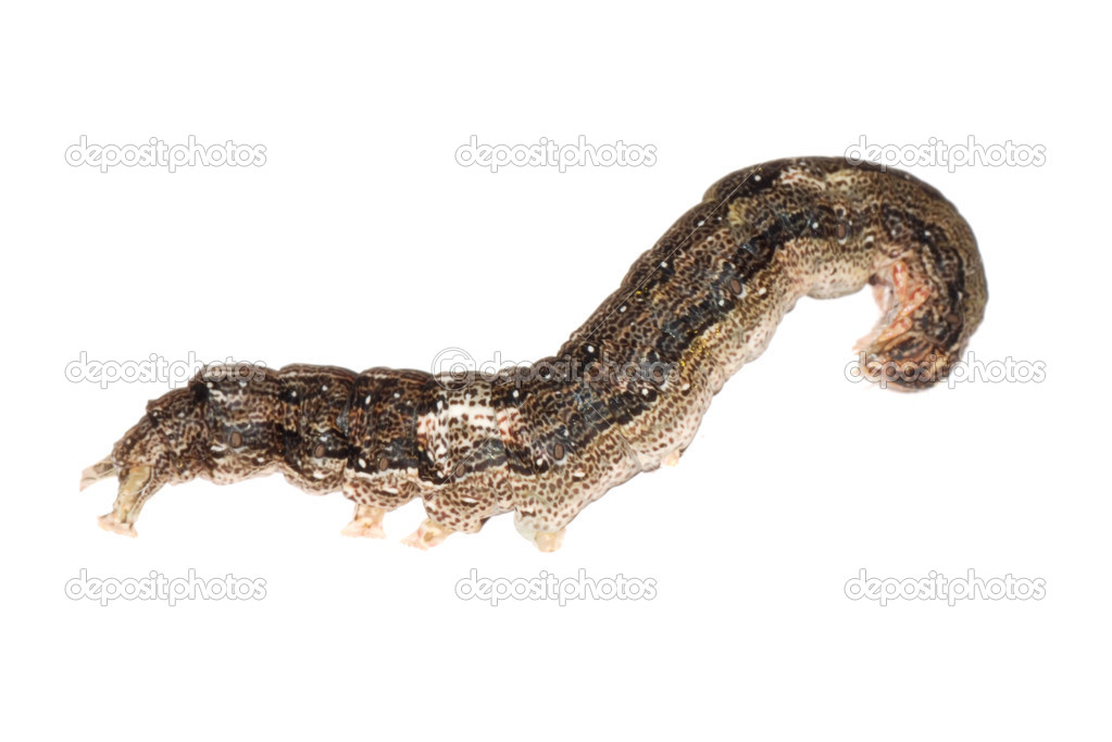 Butterfly moth caterpillar larva isoalted on white background — Stock Photo #6930442