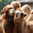 Animal camel portrait - Stock Photo
