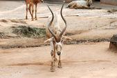 アフリカの動物オリックス ・ ゲムズボック — ストック写真