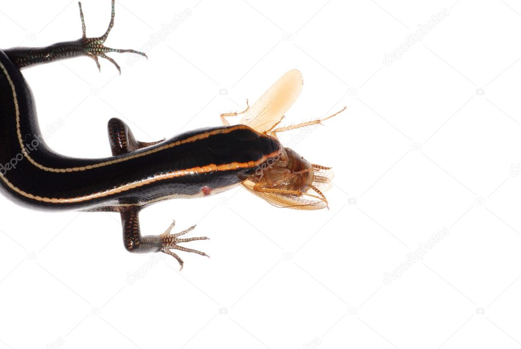 Lizard eat roach, isolated on white background  Stock Photo #6949667