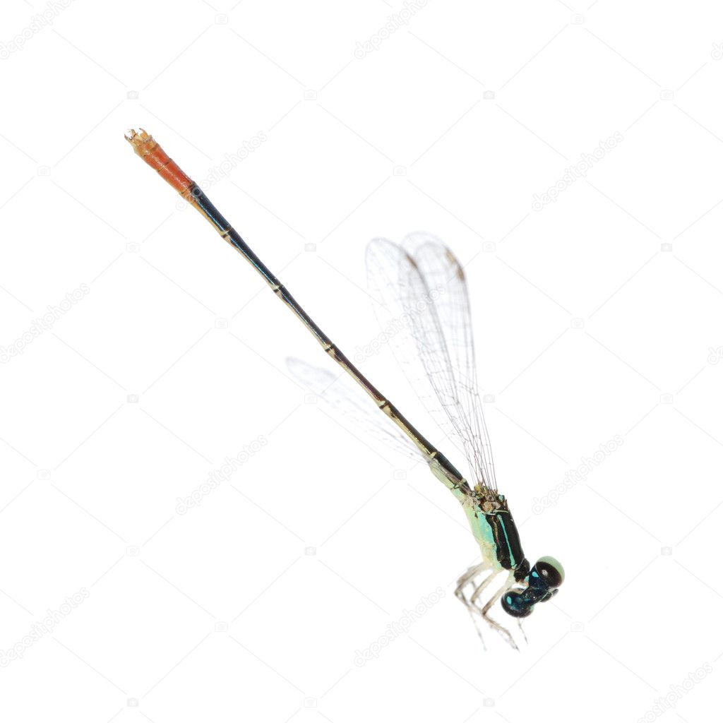 Dragonfly damselfly isolated on white background, studio shot  Stock Photo #6949873