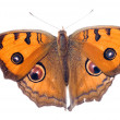 Butterfly — Stock Photo #6951771