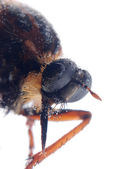 Robber fly isolated — Stock Photo
