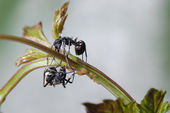 Insect ant and aphid isolated — Stock Photo