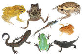 Wild animal collection amphibian — Stock Photo