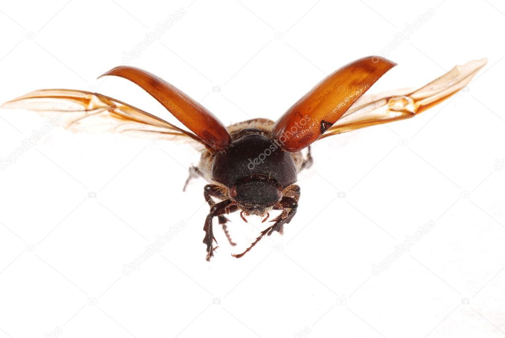 Flying brown scarab beetle isolated on white background — Foto de Stock   #6950268