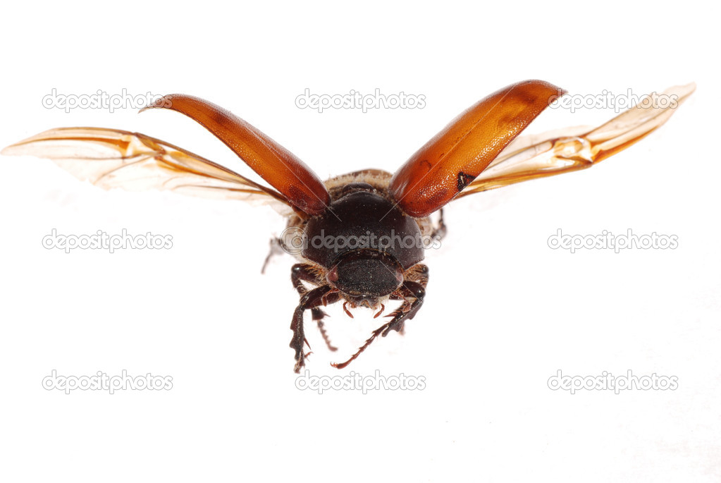 Flying brown scarab beetle isolated on white background  Foto de Stock   #6950268