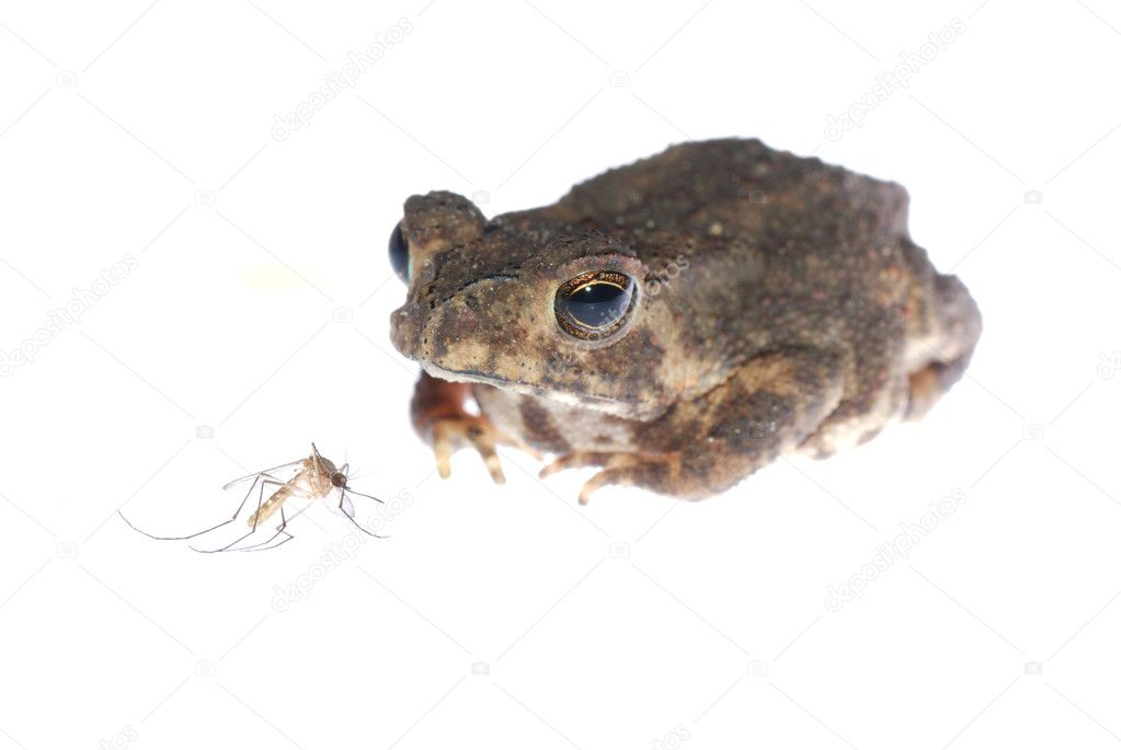 Animal toad look at mosquito bug isolated on white — Stock Photo #6950573