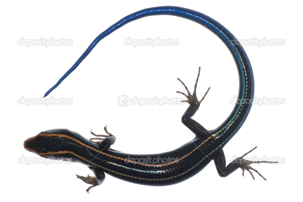Blue tail skink lizard isolated — Stock Photo #6951470