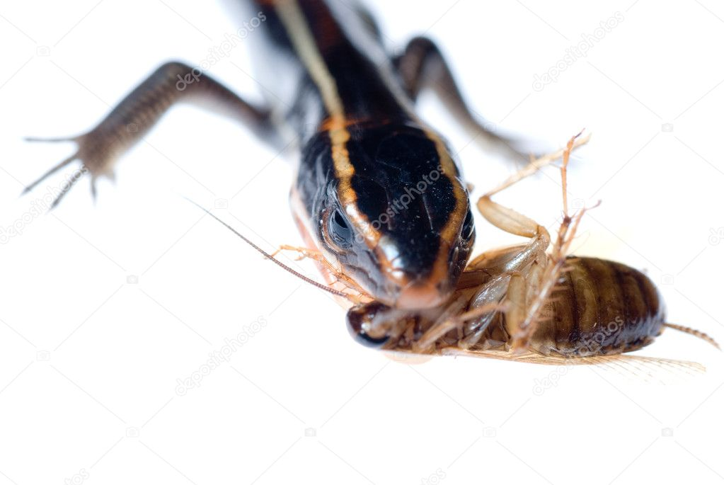 Animal lizard eat roach bug — Stock Photo #6951713