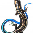Blue tail skink lizard — Stock Photo
