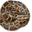 Stock Photo: Bosnake isolated