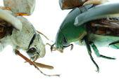Two scarab beetle — Stock Photo