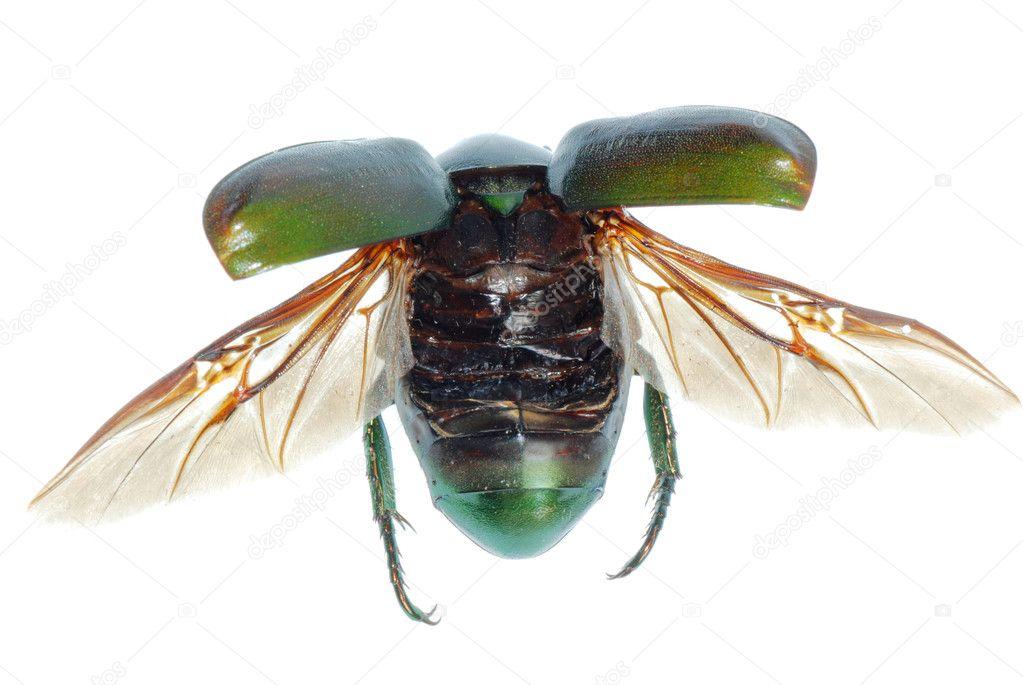 fliegende insekt gr nen k fer isoliert auf weiss. Black Bedroom Furniture Sets. Home Design Ideas