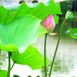 Royalty-Free Stock Photo: Lotus flower