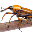Stock Photo: Palm weevil snout beetle