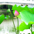 Lotus flower — Stockfoto #7224134