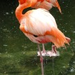 Flamingo bird — Stock Photo #7225916