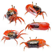 Fiddler crab set collection — Stock Photo
