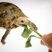 Pet turtle tortoise — Stock Photo