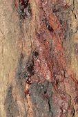 Injured spruce tree — Stock Photo