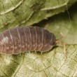 Stock Photo: Pill bug
