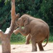 Wild animal elephant baby playing — Stock Photo