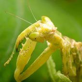 Mantis religiosa flor — Foto de Stock