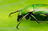 Green flower beetle — Stock Photo