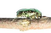 насекомое роуз майский жук изолированные — Стоковое фото