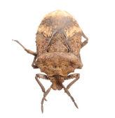 Insekt stank bugg — Stockfoto