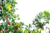 Wax apple tree — Stock Photo