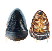 Black ground roach beetle — Stock Photo