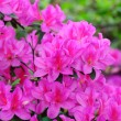 Royalty-Free Stock Photo: Azalea flowers