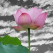 Lotus flower — Stock fotografie