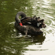 Stock Photo: Black swan