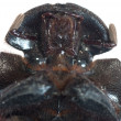 Dung beetle — Stock Photo