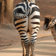 Royalty-Free Stock Photo: Zebra back view