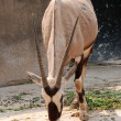 Stock Photo: Africanimal oryx gemsbok