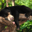 Sleeping sun bear — Stock Photo