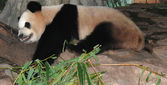 Giant panda bear sleep — Stock Photo