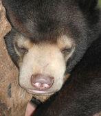 Sleeping sun bear — Stock Photo