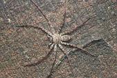 Animal giant spider — Stock Photo