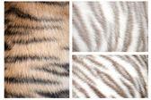 虎の毛皮のパターン — ストック写真