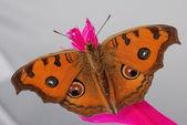 Macro de pansy borboleta pavão — Fotografia Stock