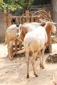 African animal oryx gemsbok — Stock Photo