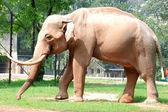 Animal elephant — Stock Photo