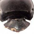 Dung beetle head — Stock Photo