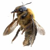 Insect humble bee — Stock Photo